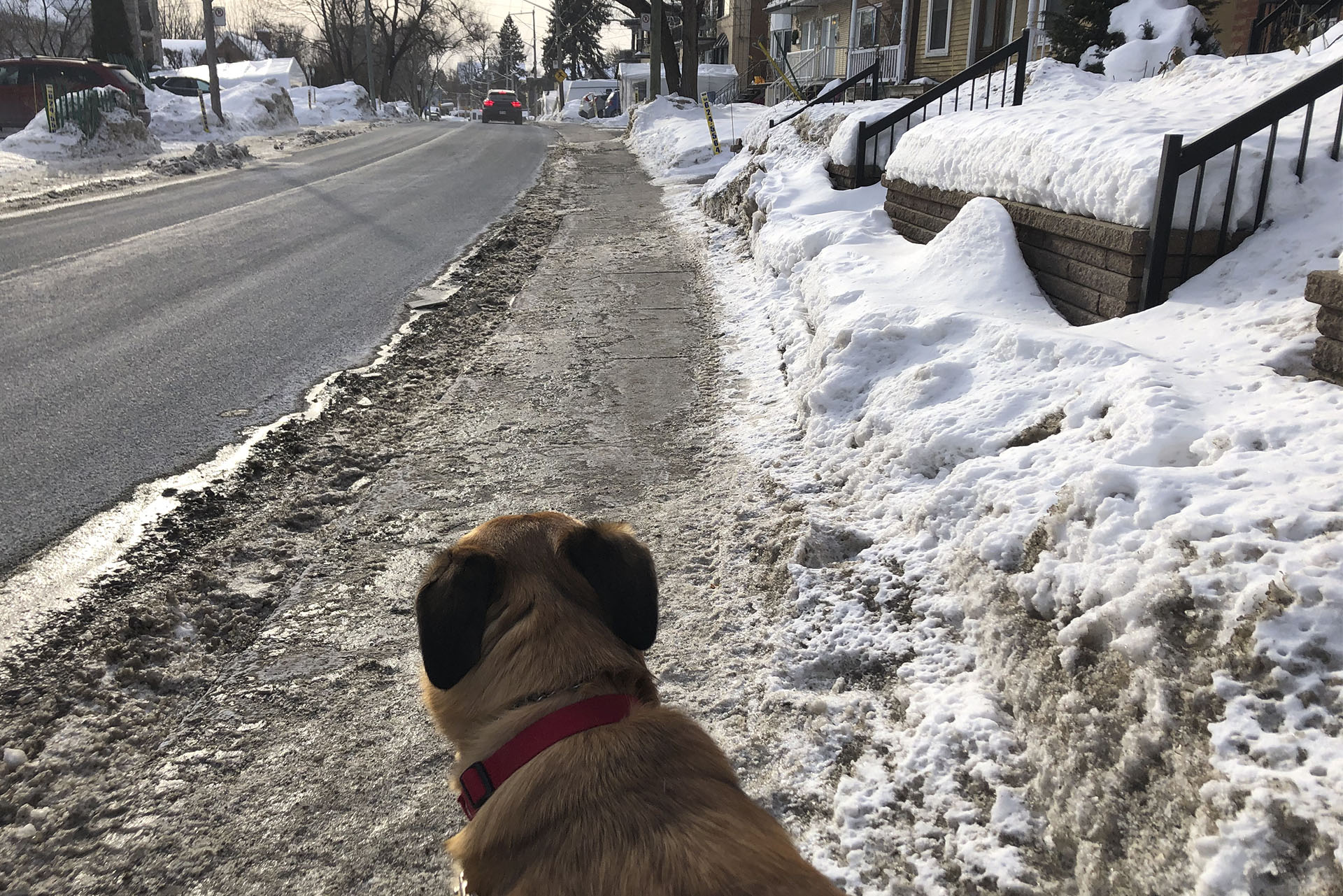 A dog out for a walk.
